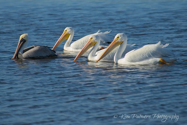 Brown and White Pelicans