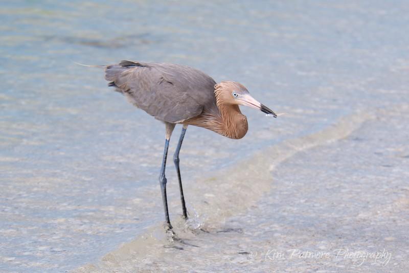 Reddish Egret Fishing Success