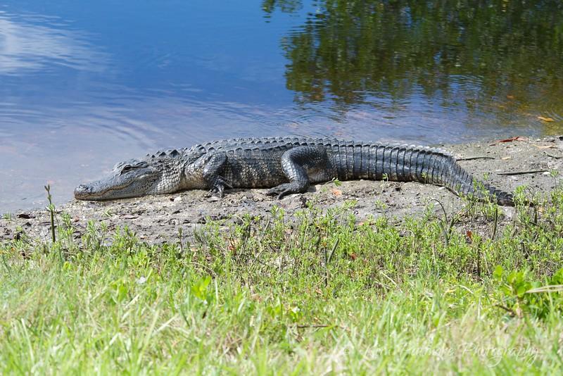 Alligator at Ding Darling Refuge