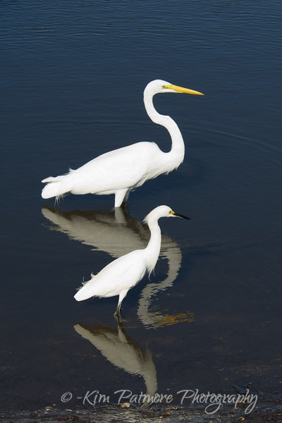 Great White Egret and Snowy Egret