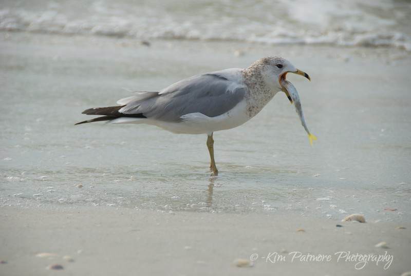 Ring Billed Gull and Dinner