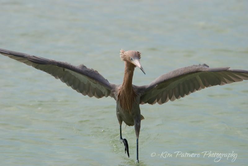 Reddish Egret Fishing Dance
