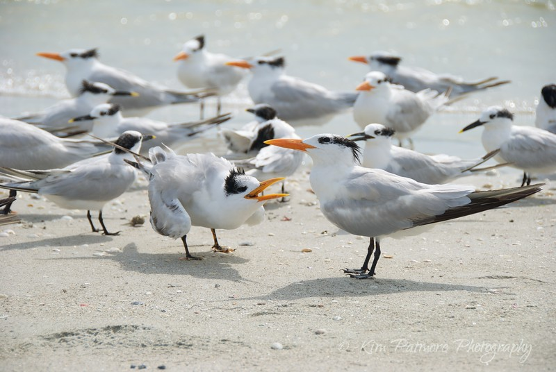 Royal Terns Talking