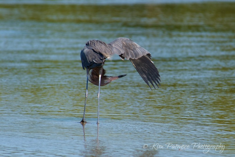 Upside Down Reddish Egret