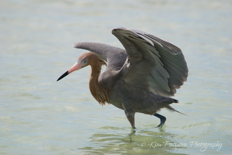 Reddish Egret Fishing Dance