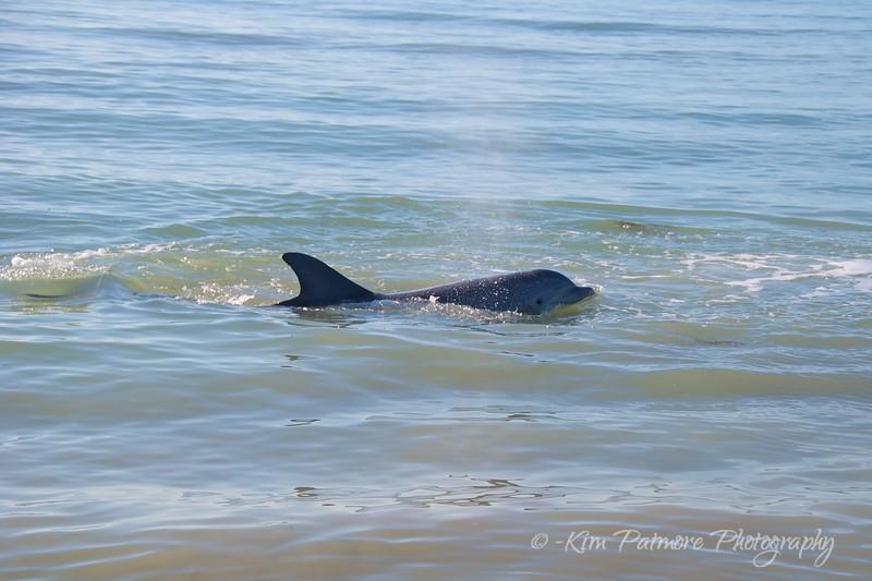 Bottlenose Dophin