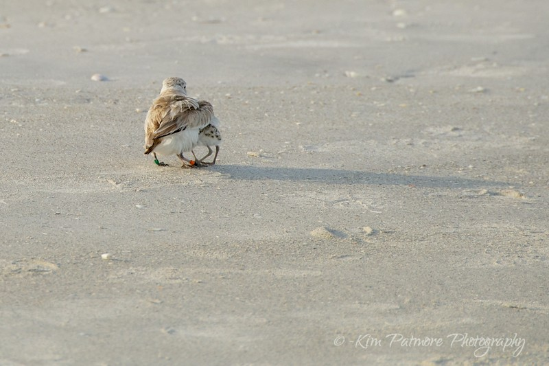 Mother's Love - Snowy Plovers