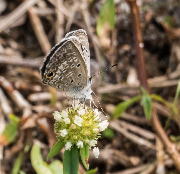 Ceraunus Blue (female)