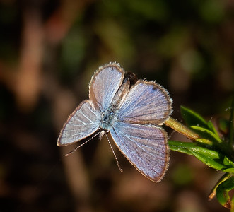 Ceraunus Blue (male)