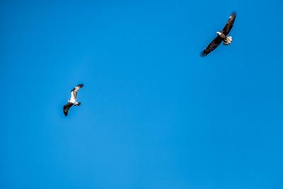 Osprey & Bald Eagle