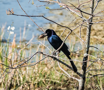 Boat-tailed Grackle with clam
