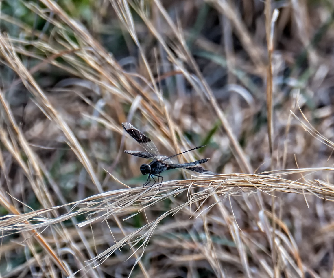 Band-wing Dragonlet