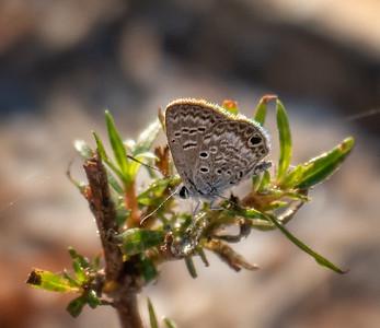 Ceraunus Blue (male)