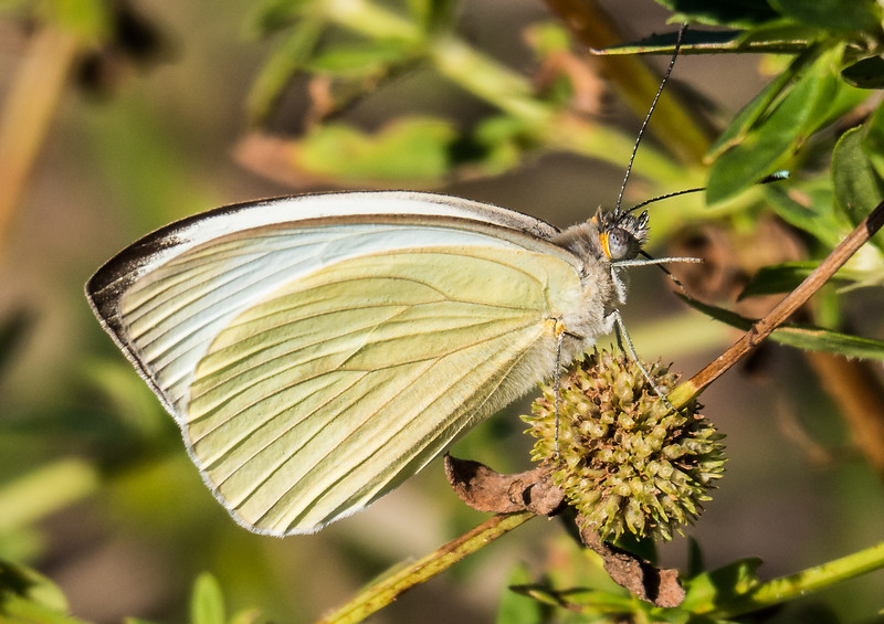 Great Southern White (female)