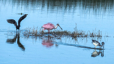 Glossy Ibis, Roseate Spoonbill, Tricolored Heron