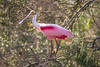 Colorful Roseate Spoonbill in Tree