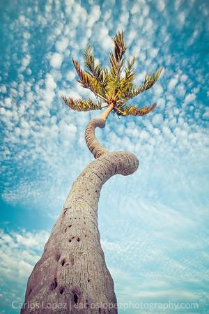 Corch-screw Palm