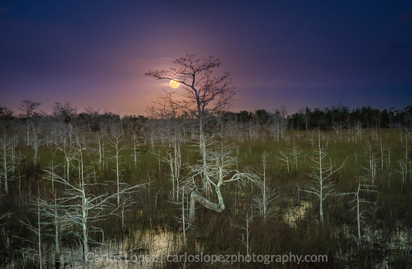 Everglades Blue Blood Moon +1
