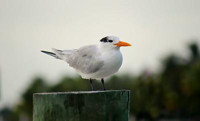 Royal Tern / Juvenile