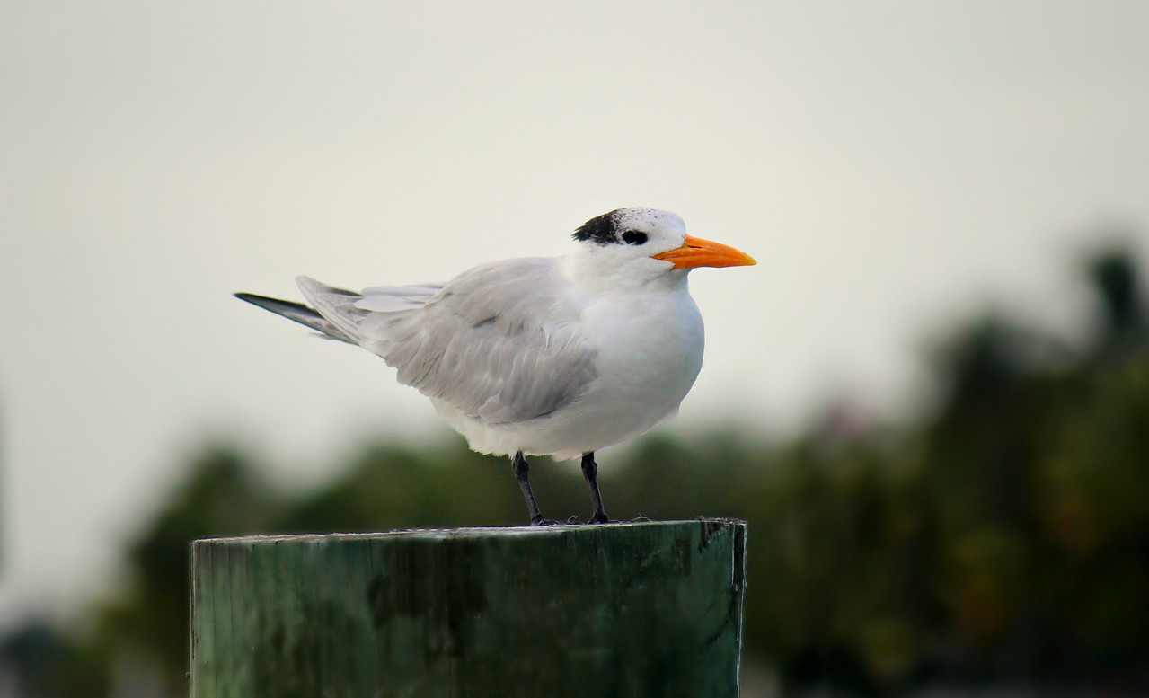 Royal Tern / Juvenile