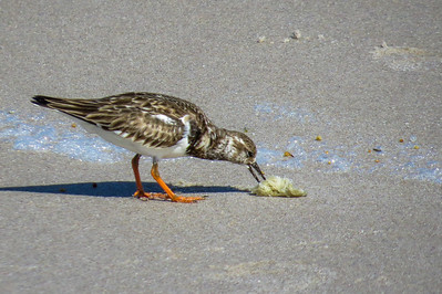 Ruddy Turnstone, nests on coastal tundra and winters on sandy beaches