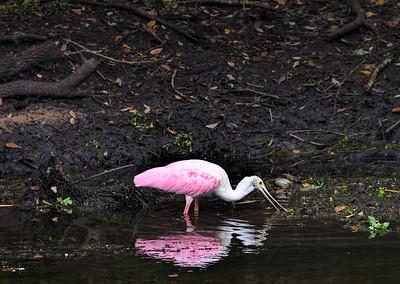 Roseate Spoonbill, Sawgrass Lake Park, St. Petersburg, Florida (71681)