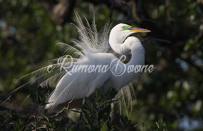 Great White Egret in Breeding Plummage
