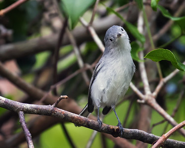 Blue Gray Gnatcatcher, Everglades NP