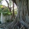 Banyan Tree ~ Key West
