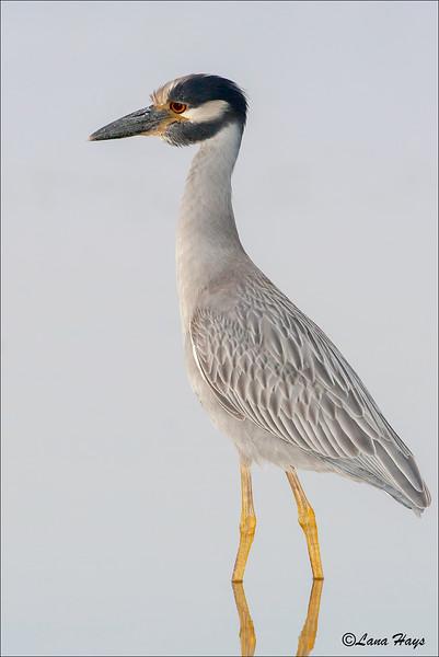 Yellow-crowned-Night Heron