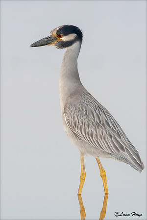 Yellow-crowned-Night Heron