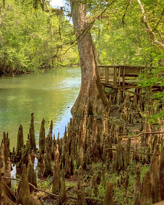 Bald Cypress and children