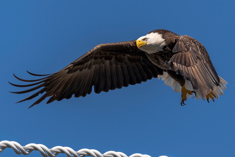 Bald Eagle in Palm Beach Gardens, FL