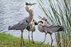 Blue Herons in Mating Season in Florida