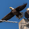 Bald Eagles in Palm Beach Gardens, FL