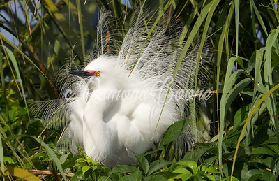 Snowy Egret in Breeding Plummage