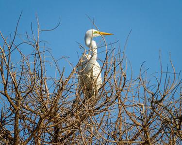 Great Egret in Treetop