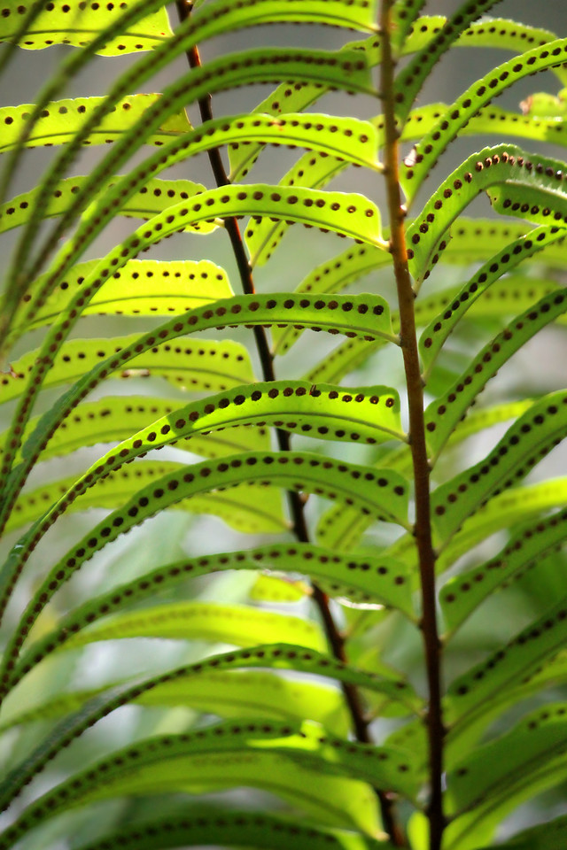 Fertile Fern