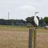 Cattle Egret SS94892