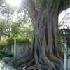 Banyan Tree ~ Key West