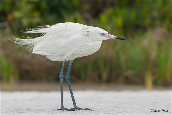 Reddish Egret  (White  Morph)