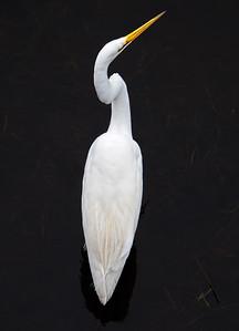 Great Egret, Sawgrass Lake, St. Petersburg, Florida (71730)
