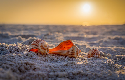 Sanibel Seashells