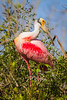 Awesome Roseate Spoonbill
