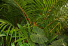 White Lined Leaf and Red Sealing Wax Palm, American Orchid Society, Delray Beach, FL