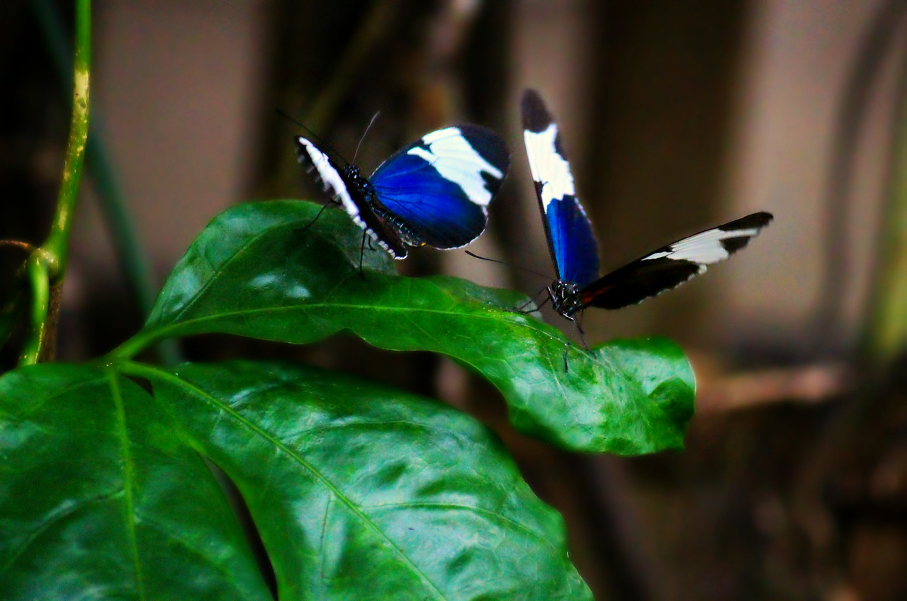 Blue And White Longwings