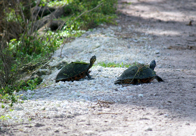 Florida Red-bellied Cooters