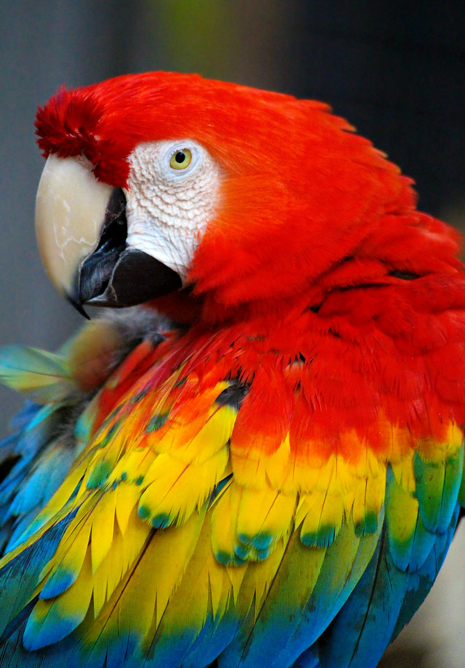 Magnificent Macaw