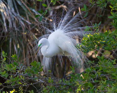 Great Egret with Lovely Mating Plumage