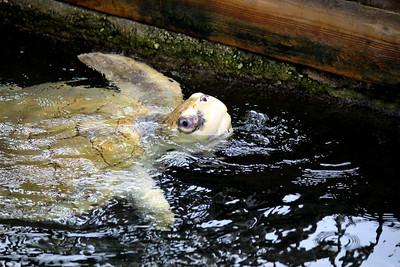 Lola / Kemp's Ridley Sea Turtle